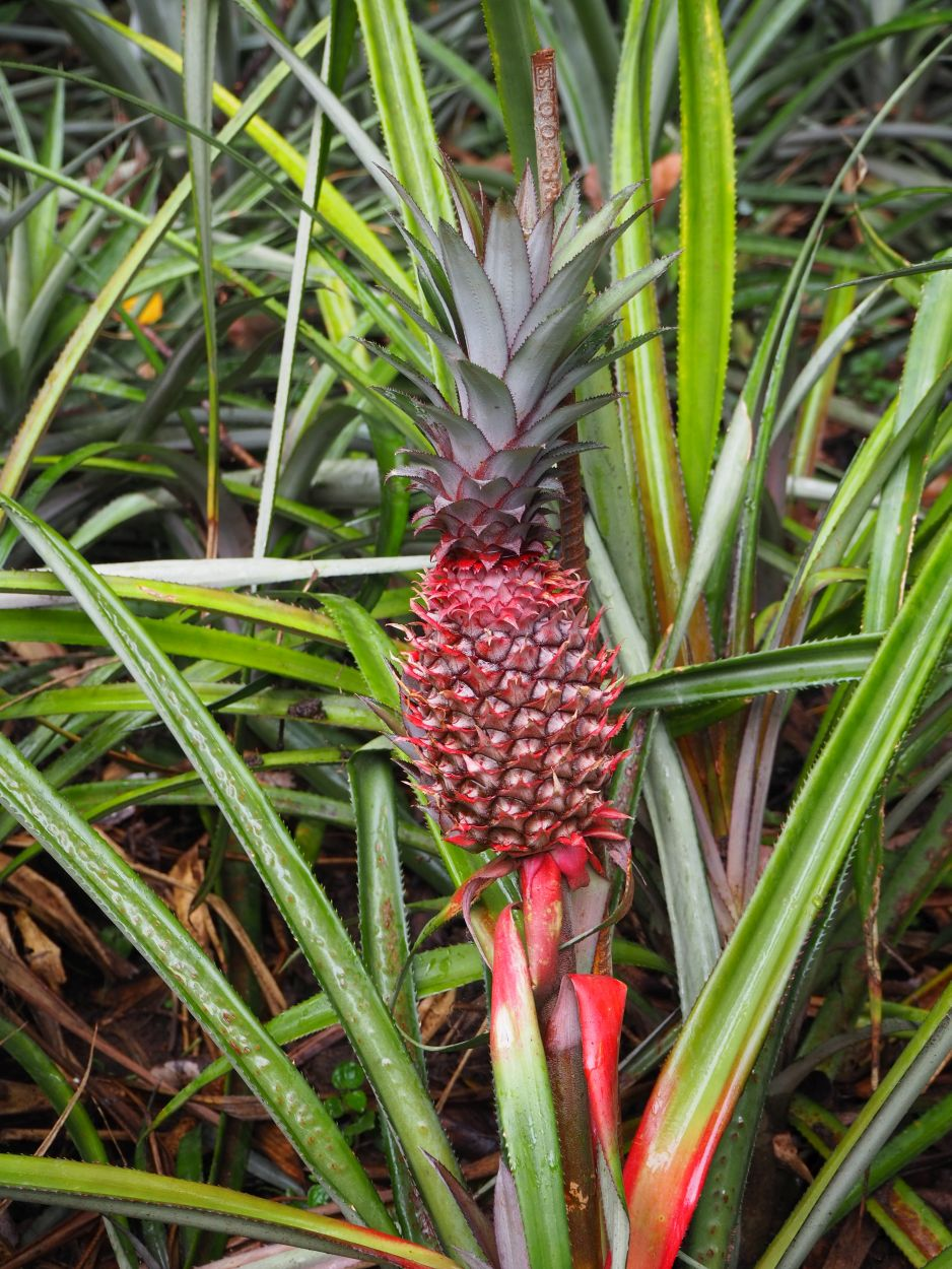Rote Ananas am Strauch in Sri Lanka