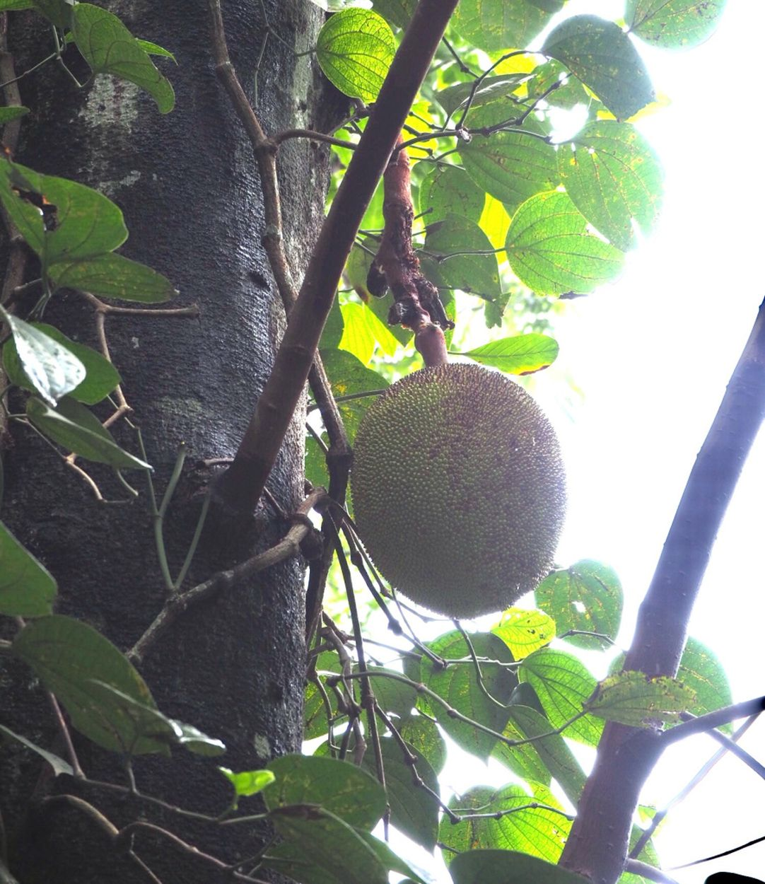 Jack-Frucht am Baum