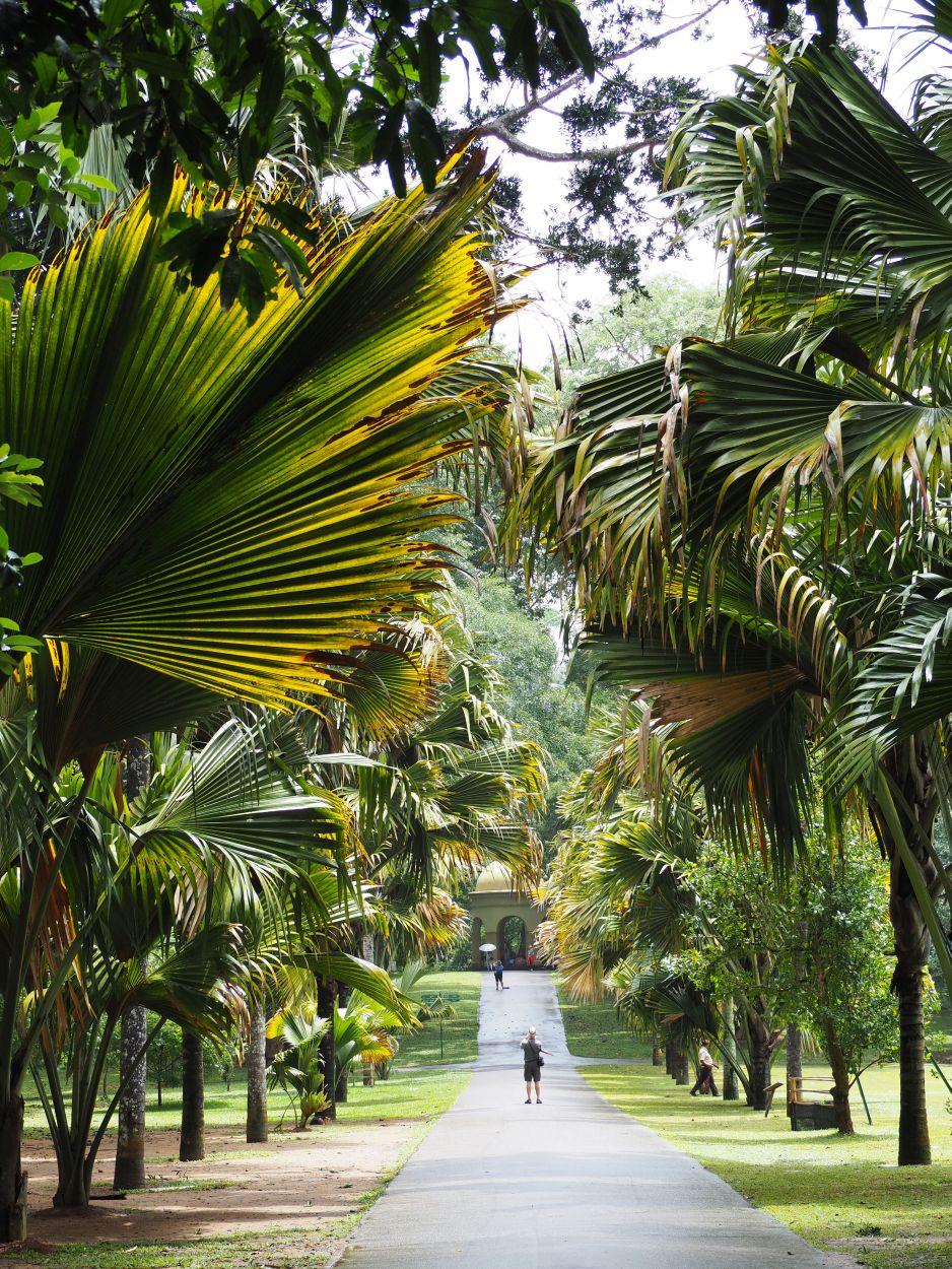 Palmenallee im Botanischen Garten in Kandy