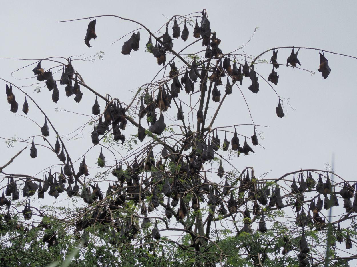 Fledermäuse in Sri Lanka