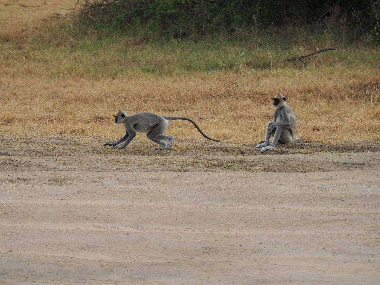 Languren im Minneriya-Nationalpark / Sri Lanka