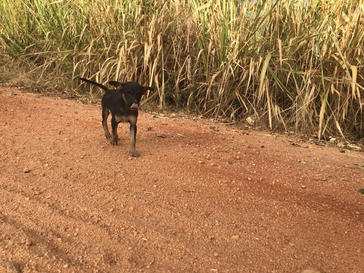 Hunde-Welpe sucht neues Herrchen in Sri Lanka