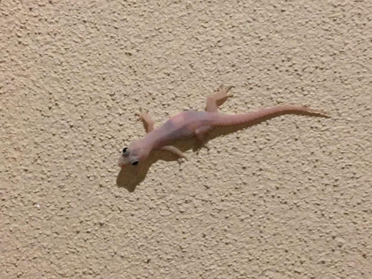Gecko läuft an der Wand in Sri Lanka