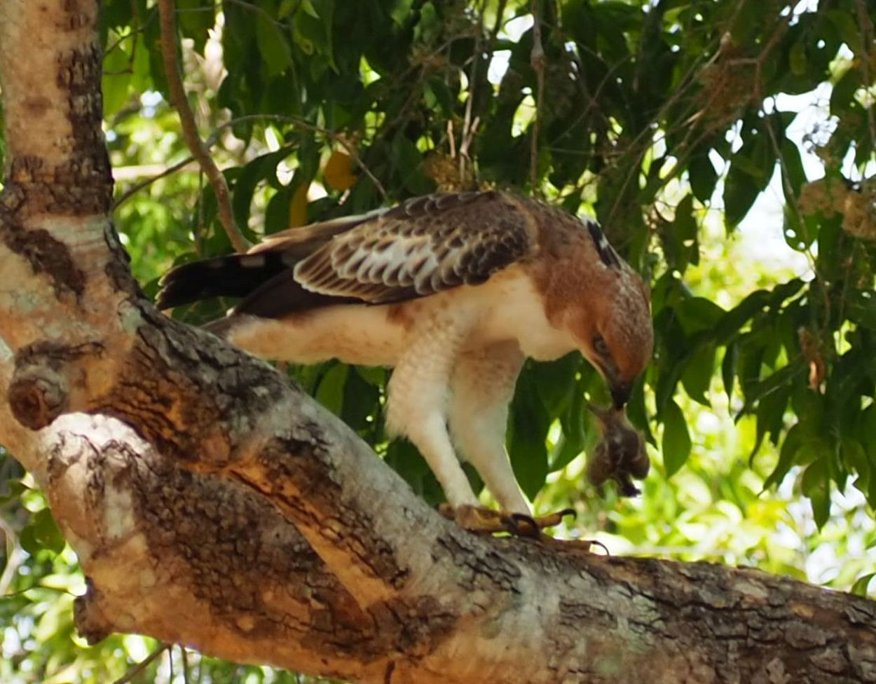 Adler beim Mittagessen