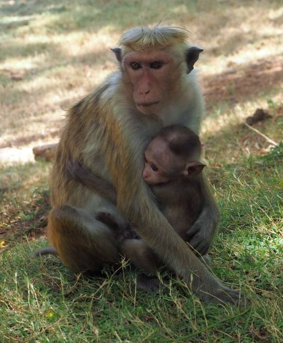 Affen-Baby in Sri Lanka
