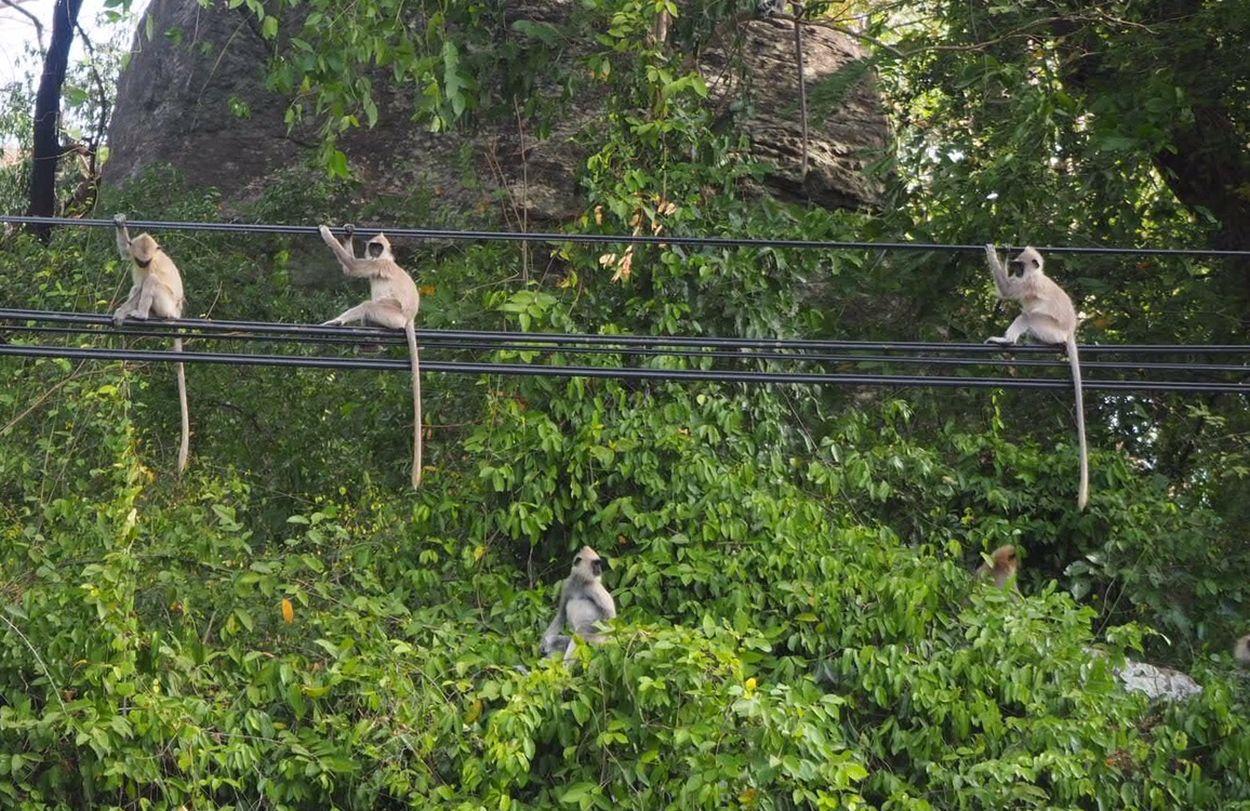 Chillende Affen in Sri Lanka