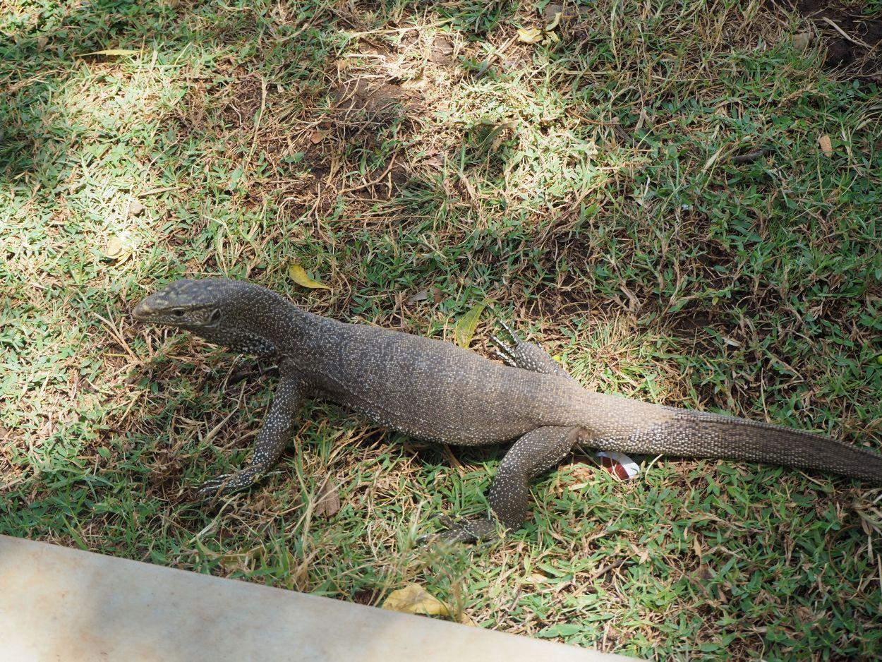 Leguan in Sri Lanka