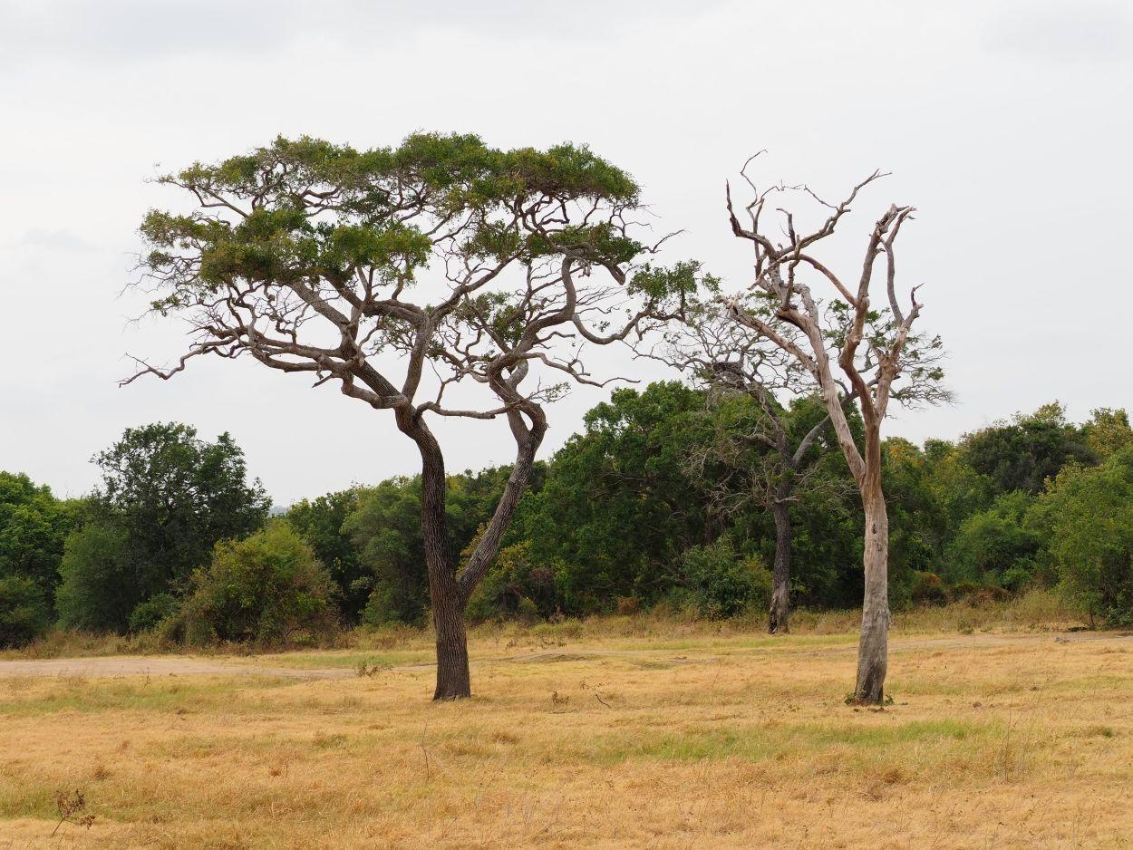 Die Landschaft im Minneriya Nationalpark / Sri Lanka