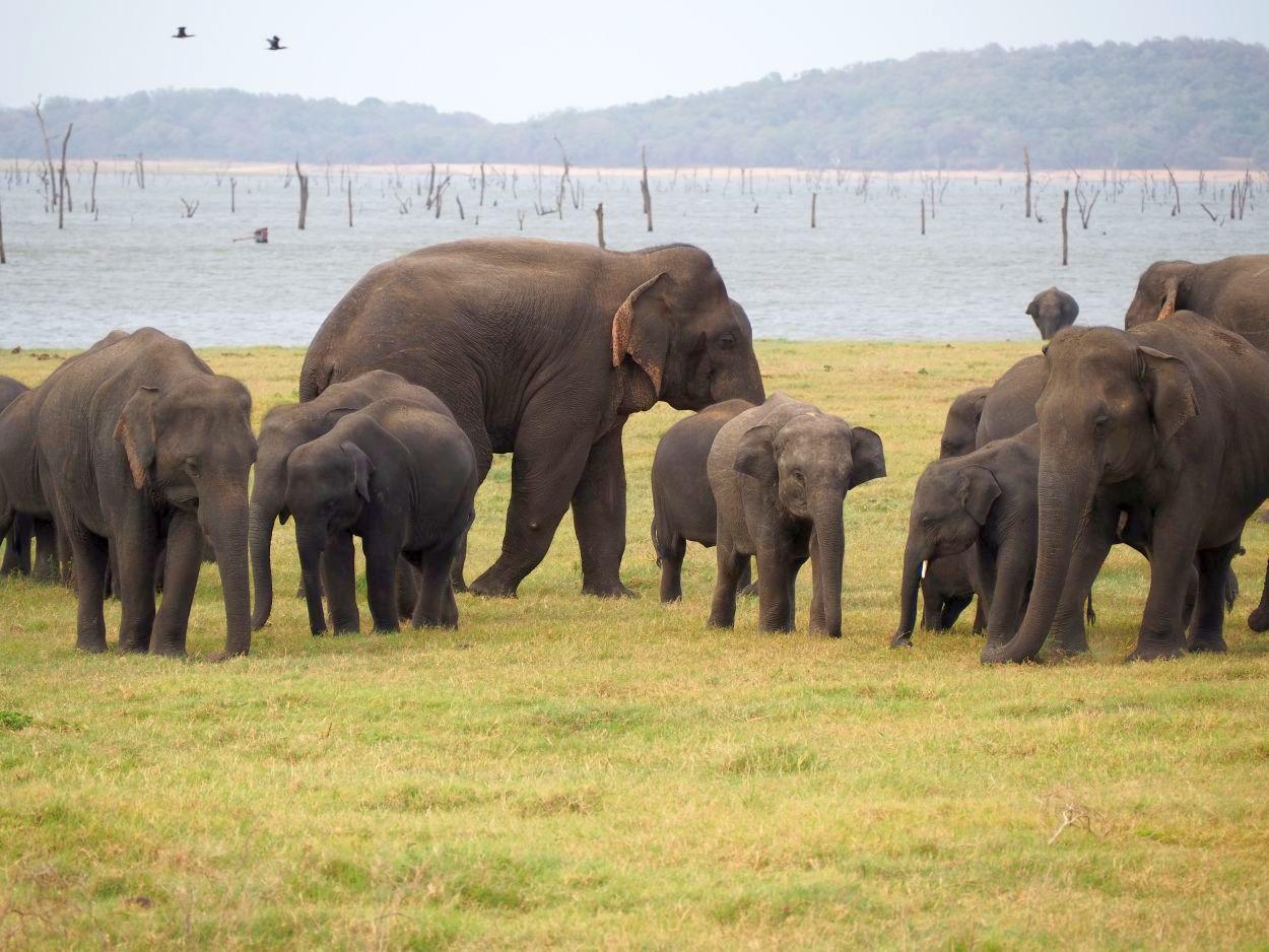 Elefantenherde im Minneriya-Nationalpark / Sri Lanka