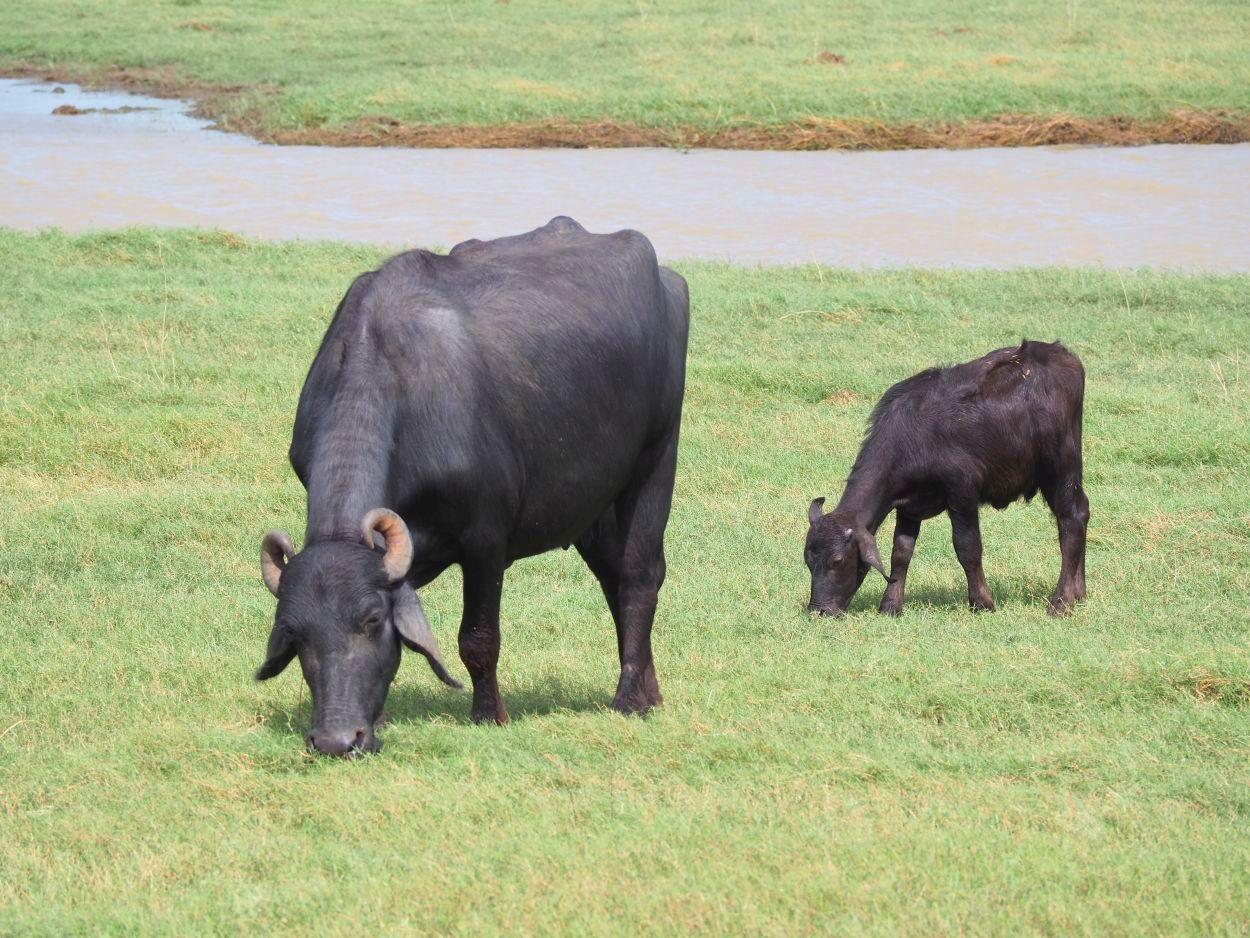 Wasserbüffel mit Junges im Minneriya Nationalpark / Sri Lanka
