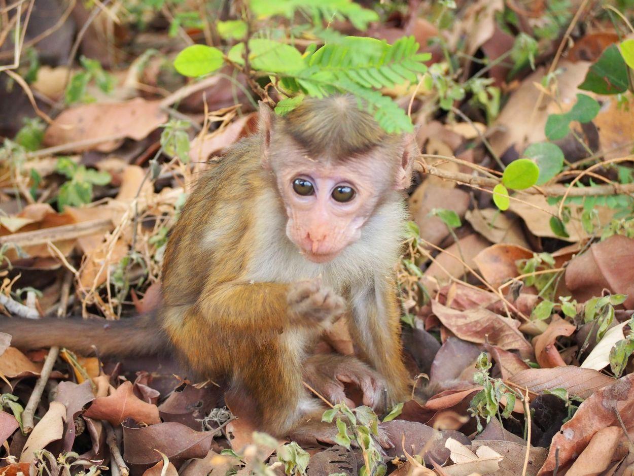 Affenbaby im Minneriya Nationalpark / Sri Lanka