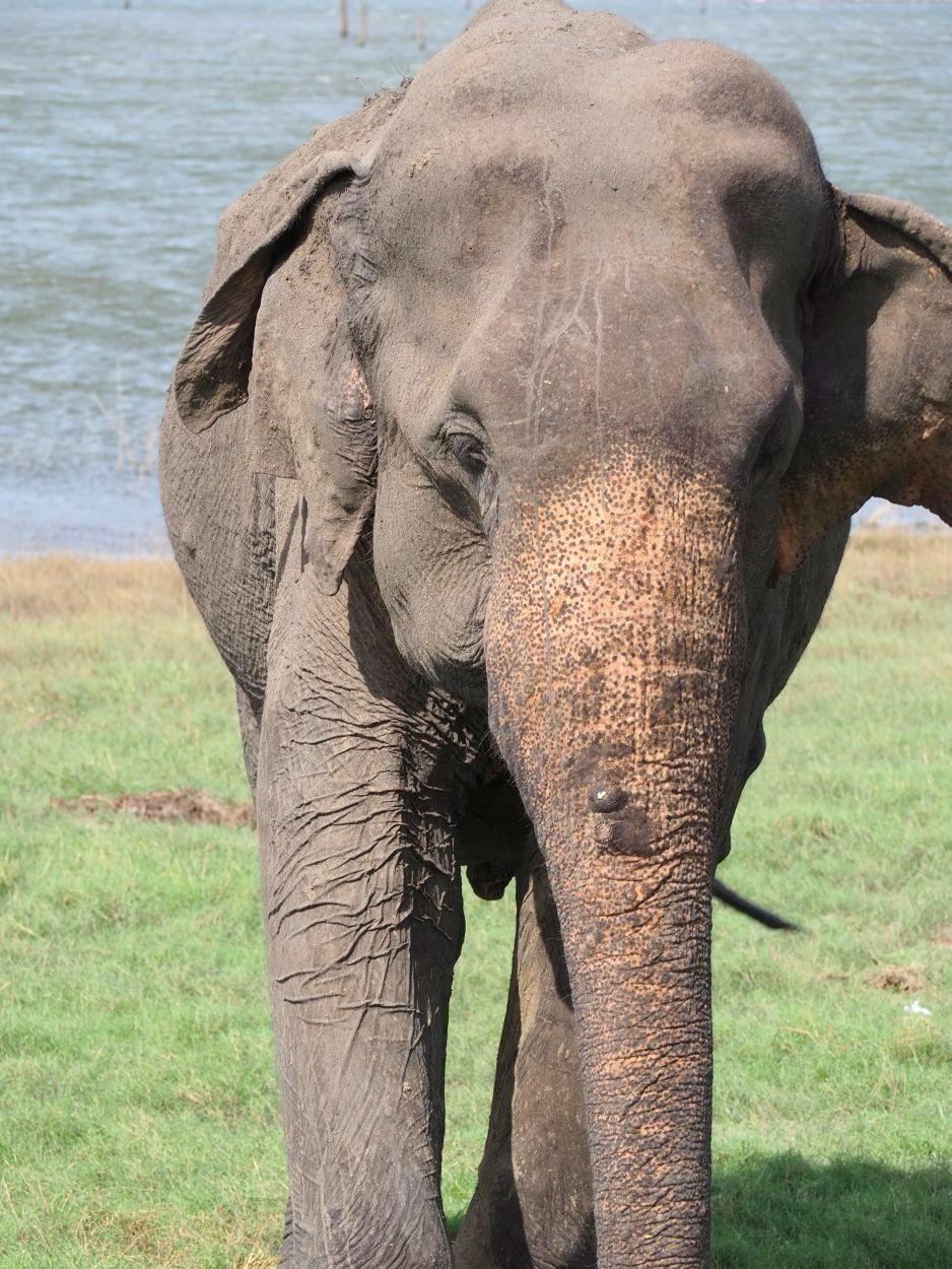 Elefant im Minneriya Nationalpark / Sri Lanka
