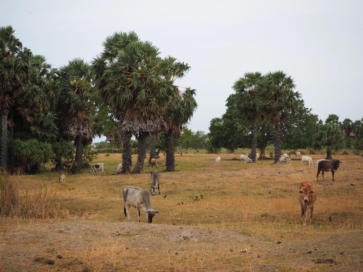 Kühe in Sri Lanka