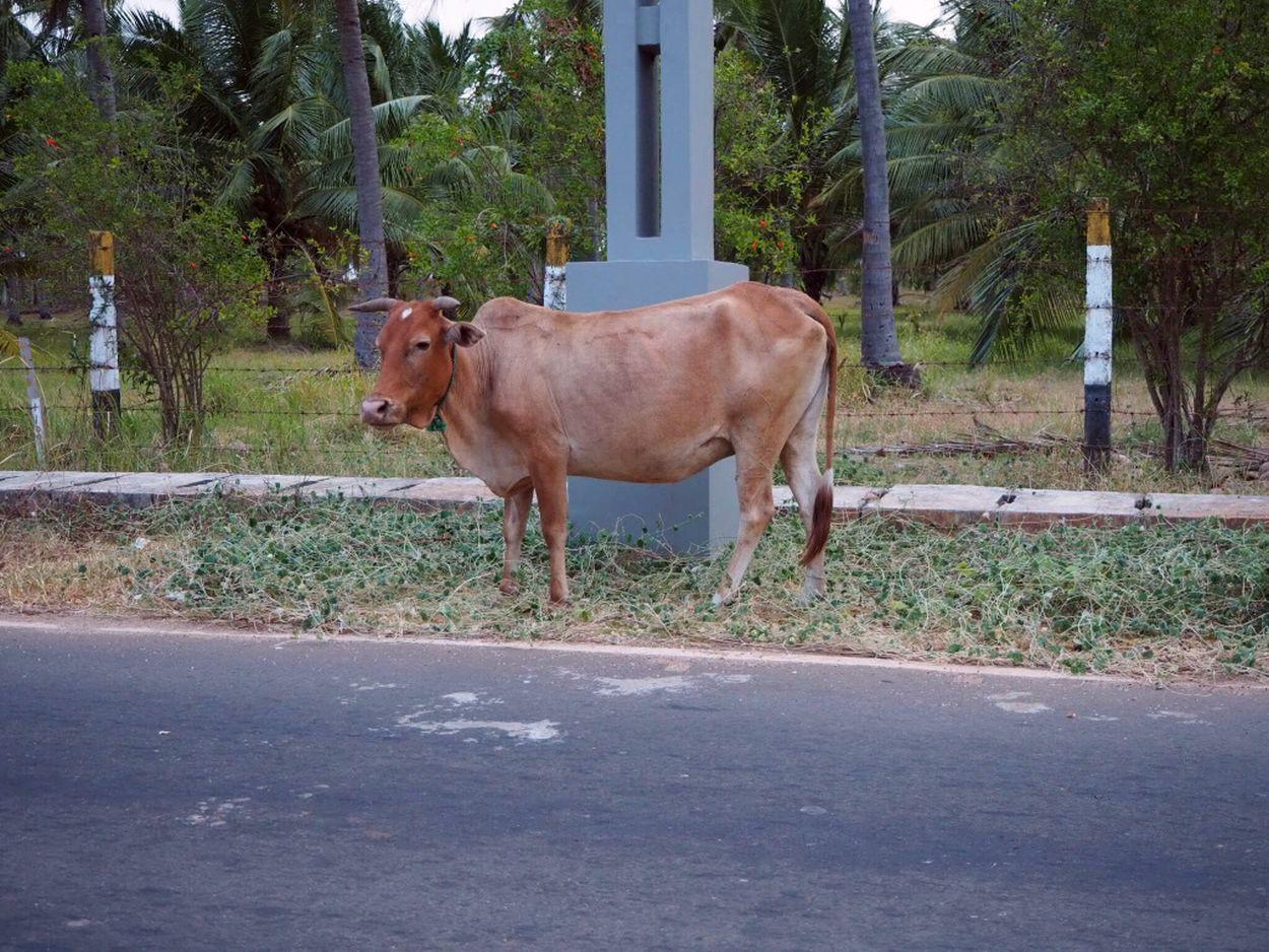 Kuh am Straßenrand in Sri Lanka