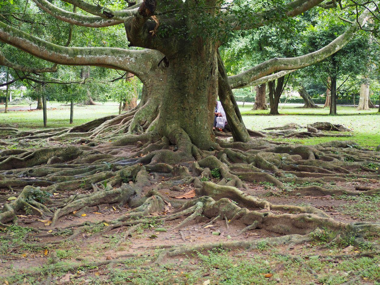 Beeindruckender Baum im Botanischen Garten in Kandy