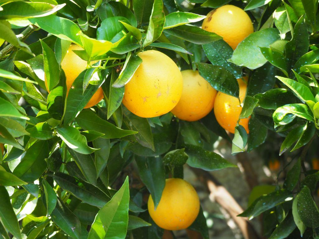 Zitronenanbau in Limone