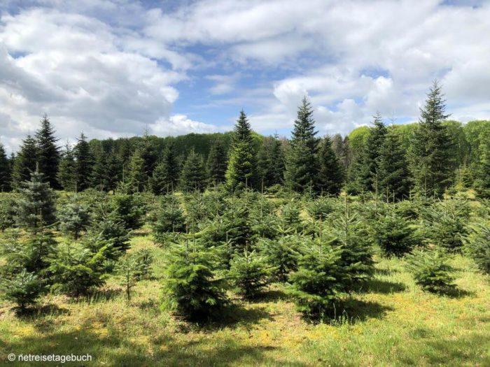 Tannenbaum-Plantage zum Aussuchen