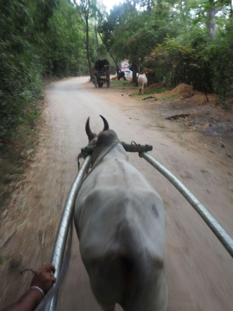 Ochsenfahrt in Sri Lanka