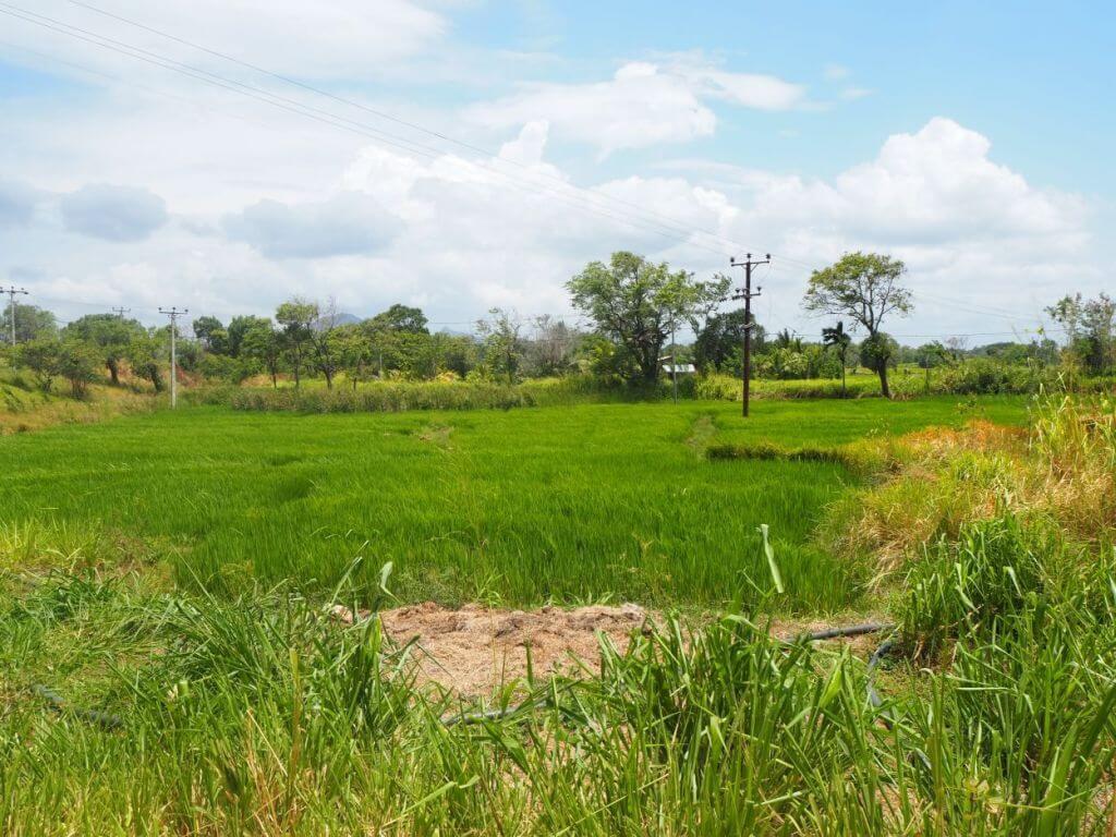 Reisfelder in Sri Lanka