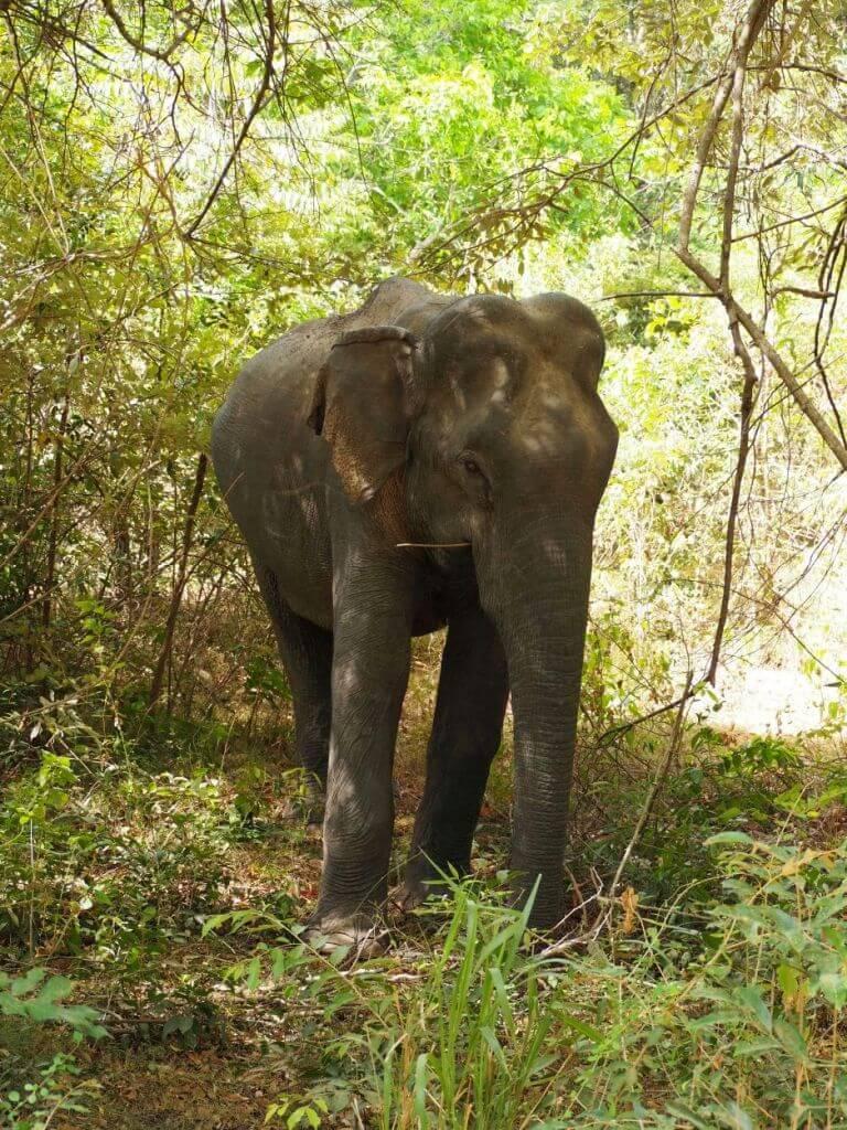 Freilaufender Elefant in Sri Lanka