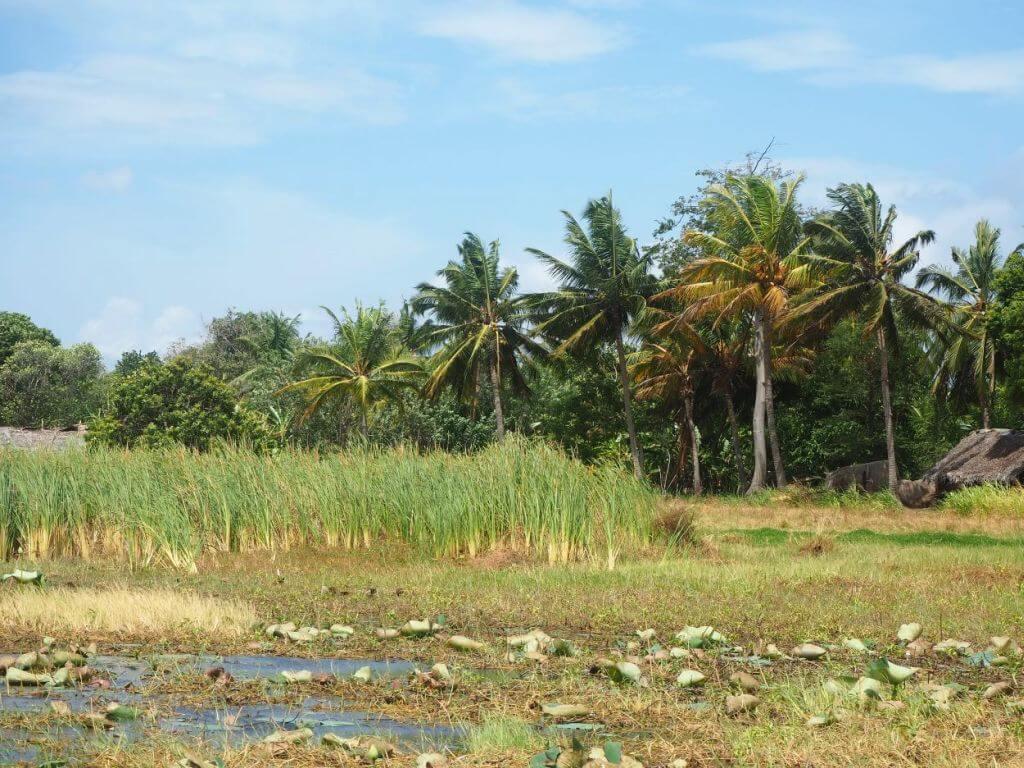 Palmen in Sri Lanka